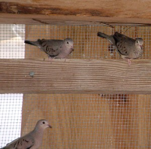 mexicangrounddoves.jpg